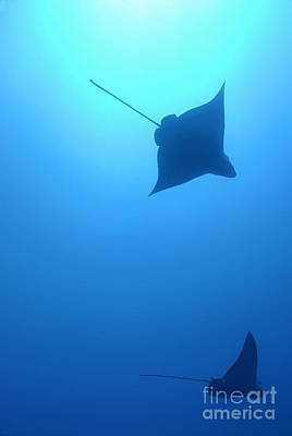 Swimming Spotted Eagle Rays Poster by Sami Sarkis