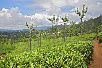 Tea Plants (camellia Sinensis Poster