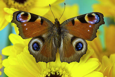 The European Peacock Butterfly, Inachis Poster