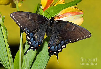 Tiger Swallowtail Butterfly, Dark Phase Poster by Millard H. Sharp