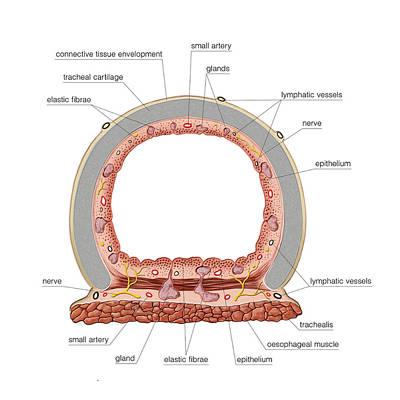 Trachea Poster by Asklepios Medical Atlas