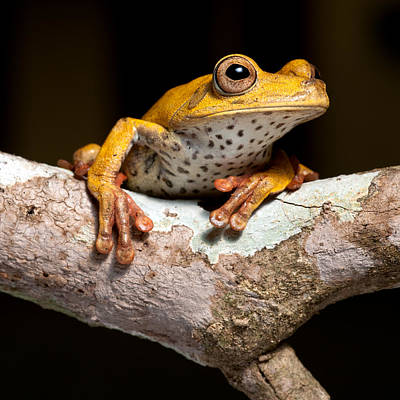 Tree Frog On Twig In Rainforest Poster by Dirk Ercken