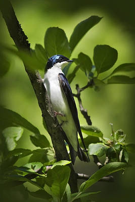 Tree Swallow Poster by Christina Rollo