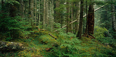 Trees In A Forest, Hoh Rainforest Poster by Panoramic Images