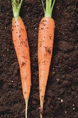 Two Carrots On Soil Poster