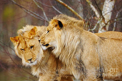Two Lions Close Together Poster