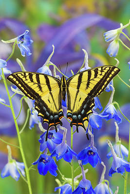 Two-tailed Swallowtail Butterfly Poster
