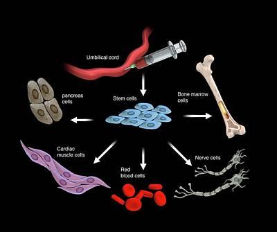 Umbilical Stem Cells Poster by Mikkel Juul Jensen
