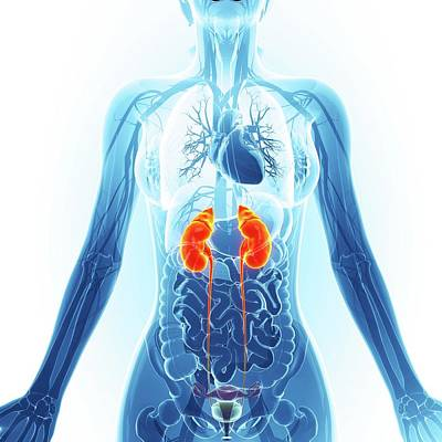 Urinary System Poster