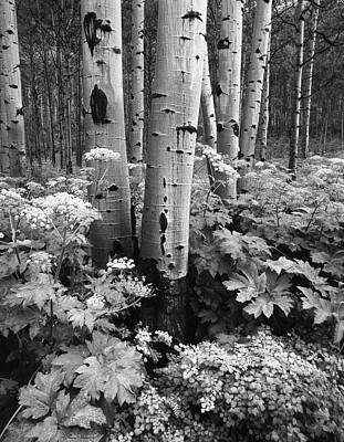 Usa, Colorado, Aspen Trees (populus Poster