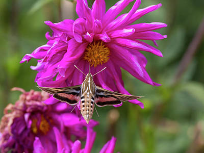 Usa, Colorado White-lined Sphinx Moth Poster