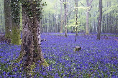 Vibrant Bluebell Carpet Spring Forest Foggy Landscape Poster by Matthew Gibson