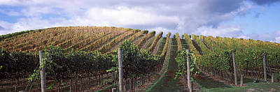 Vineyard, Napa Valley, California, Usa Poster by Panoramic Images