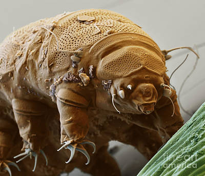 Water Bear Poster by Eye of Science and Science Source