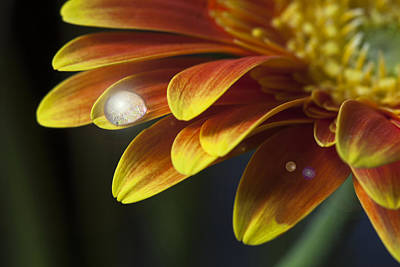 Waterdrop On A Gerbera Daisy Petal Poster by Zoe Ferrie