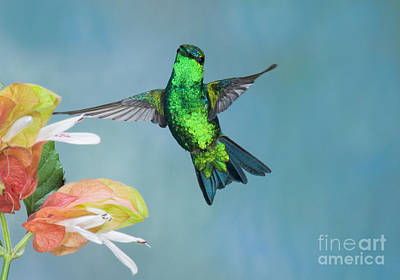 Western Emerald Hummingbird Poster by Anthony Mercieca