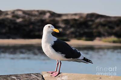 Western Gull At Moss Landing Inlet Poster