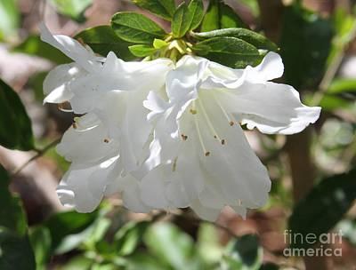 White Azalea Poster by Cathy Lindsey