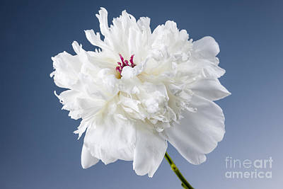 White Peony Flower Poster by Elena Elisseeva