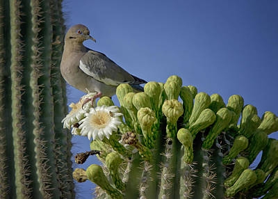 White-winged Dove Atop A Saguaro Poster