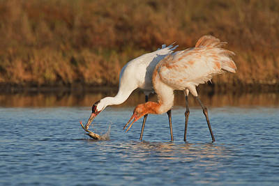Whooping Crane (grus Americana Poster by Larry Ditto
