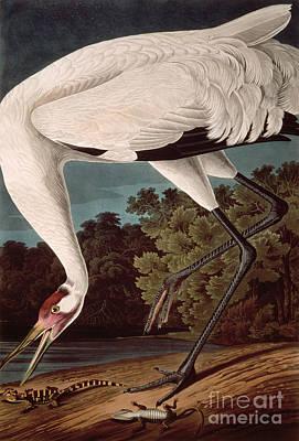 Whooping Crane Poster by John James Audubon