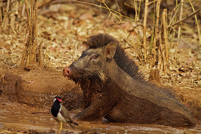 Wild Boar, Tadoba Andheri Tiger Reserve Poster