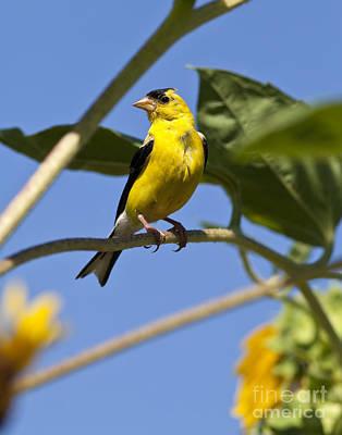 Wild Canary Bird Closeup Poster