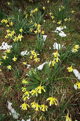 Wild Daffodil (narcissus Pseudonarcissus) Poster