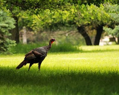 Wild Turkey Poster by Scott Hovind