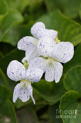 Wild Violet Flowers Poster