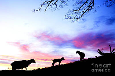 Winter Lambs And Ewes Sunrise Poster