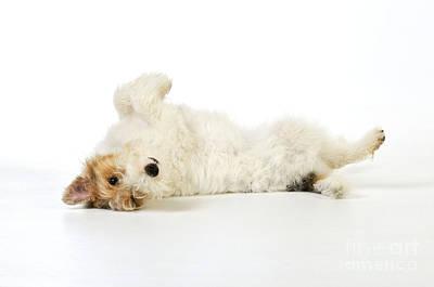 Wire Fox Terrier Poster by John Daniels