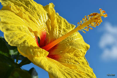 Poster featuring the photograph yellow Hula Girl Hibiscus by Aloha Art