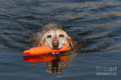 Yellow Labrador Retriever, Retrieving Poster
