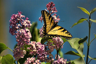 Yellow Swallowtail Poster by Rick Friedle