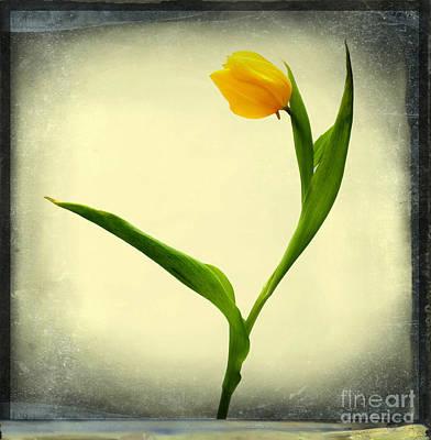 Yellow Tulip Poster