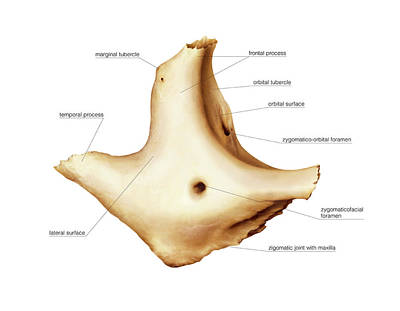 Zygomatic Bone Poster