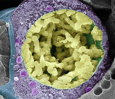 Dividing Pollen Cell Poster by Professor T. Naguro