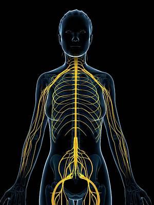 Female Nervous System Poster by Sebastian Kaulitzki