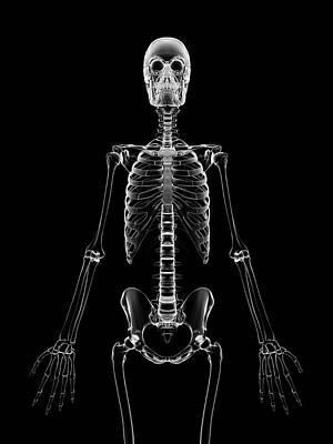 Human Skeleton Poster by Sebastian Kaulitzki