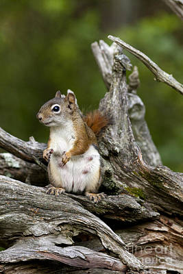 Red Squirrel Poster by Linda Freshwaters Arndt
