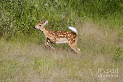 White-tailed Deer Poster by Linda Freshwaters Arndt