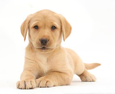 Yellow Labrador Retriever Puppy Poster