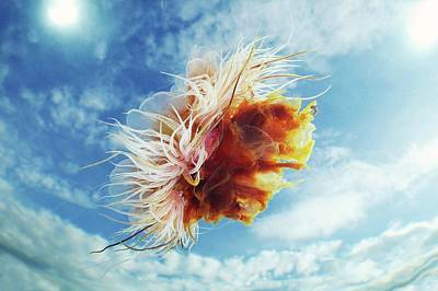 Lion's Mane Jellyfish Poster by Alexander Semenov