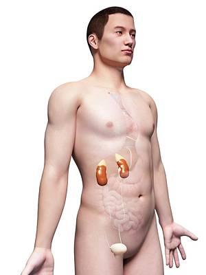 Human Urinary System Poster by Sebastian Kaulitzki