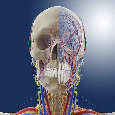 Head And Neck Anatomy, Artwork Poster