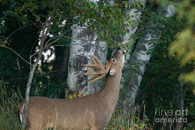 White-tailed Buck Poster
