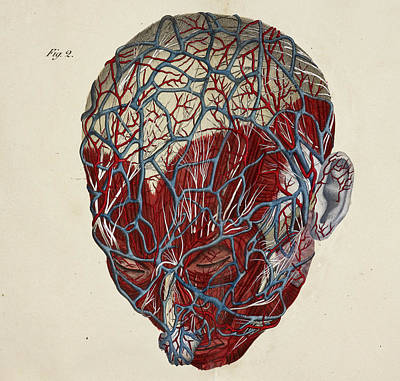 Anatomical Drawing Poster by British Library