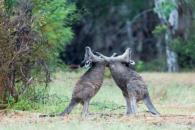 Eastern Grey Kangaroo (macropus Poster by Martin Zwick